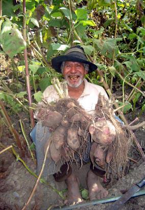 yacon agri